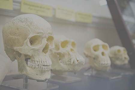 Four skulls in a row showing human evolution.