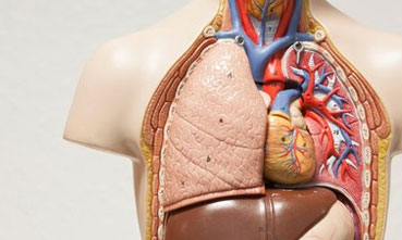 Anatomical model showing cardiovascular system