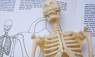 Model of a skeleton in front of an anatomy text book
