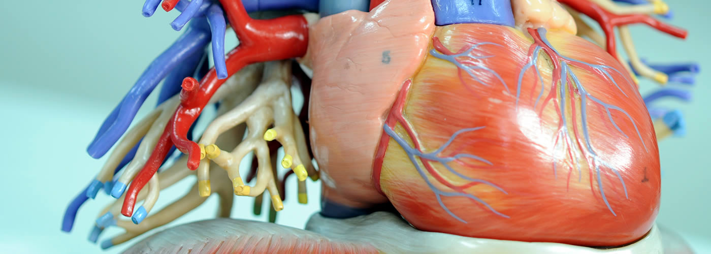 Anatomical model of a human heart